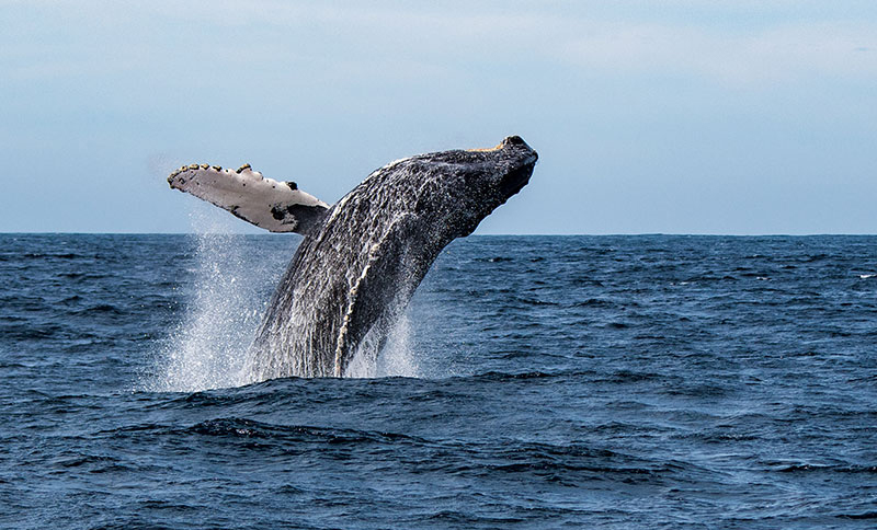 Whale Watching at Hyannis
